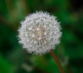 Dandelion I by Moonchilde-Stock