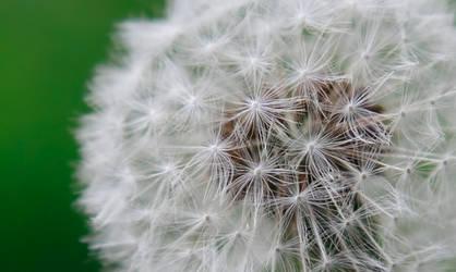 Dandelion Madness I by Moonchilde-Stock