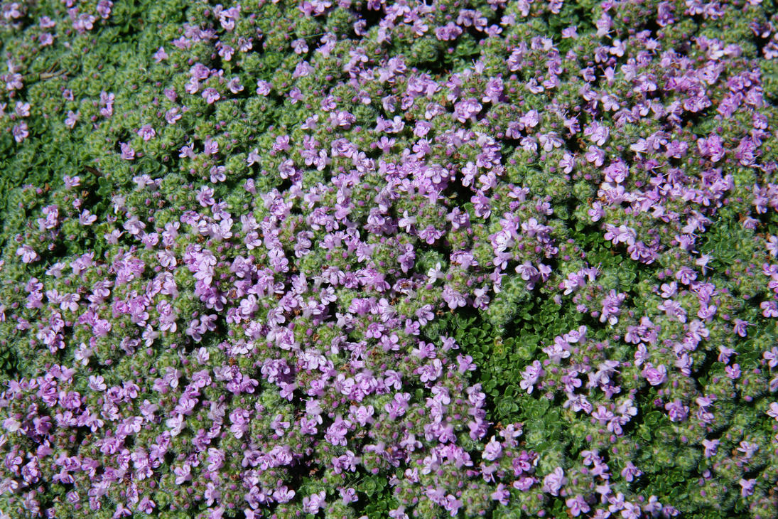 Purple Groundcover Texture By Moonchilde Stock On Deviantart