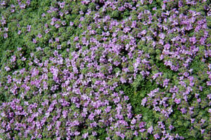 Purple Groundcover Texture