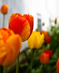 TulipStock III by Moonchilde-Stock