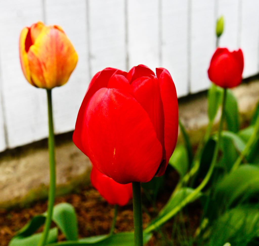 TulipStock IV by Moonchilde-Stock