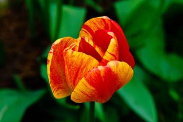 TulipStock V by Moonchilde-Stock