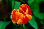 TulipStock V