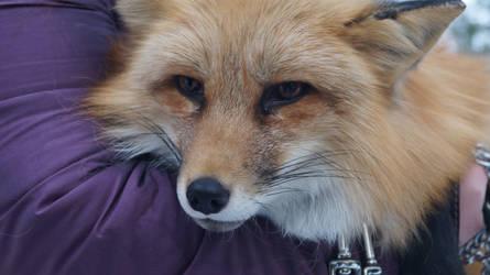 Fox named Galio