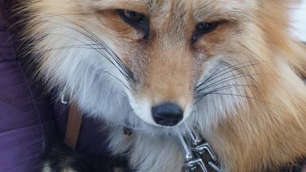 Sweet fox :3