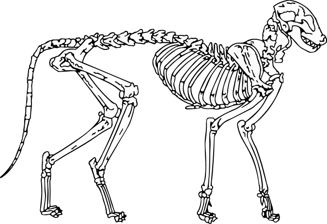 Cat Skeleton Drawing Cat Skeleton Wip by