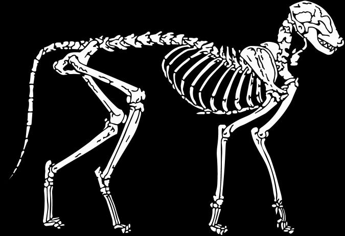 Cat Skeleton Drawing Cat Skeleton Wip by