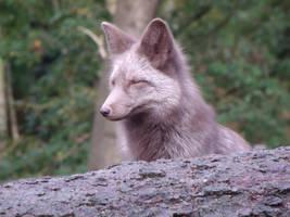 Gray Fox by sacredfoxart