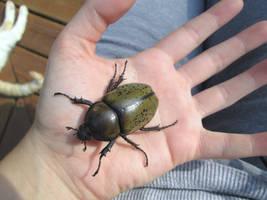 Female Eastern Hercules Beetle 5