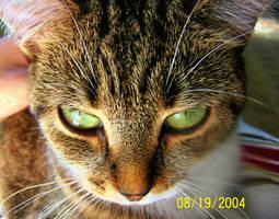 Tabby Cat by kripes