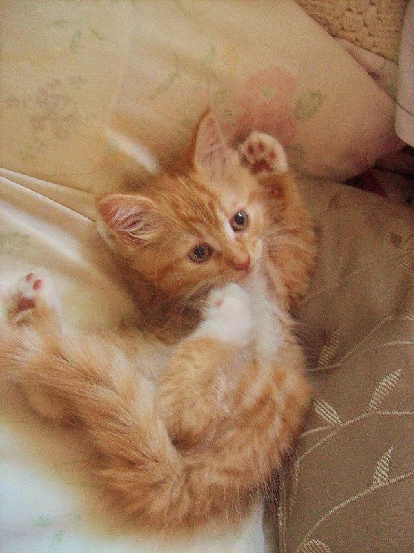 Orange Kitten by kripes