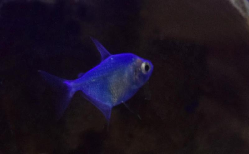 stock blue glofish skirt tetra 5 by pendlera on deviantart