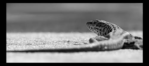 Wall Lizard by BASM