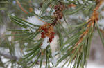 Snow in Tree