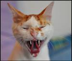 wild yawn