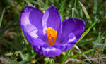 Spring crocus by Aleyd92