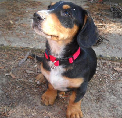 Labrador Dachshund mix by aznshinobi on DeviantArt