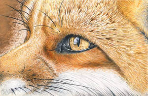 Fox Eye in coloured pencil by DMcAllister