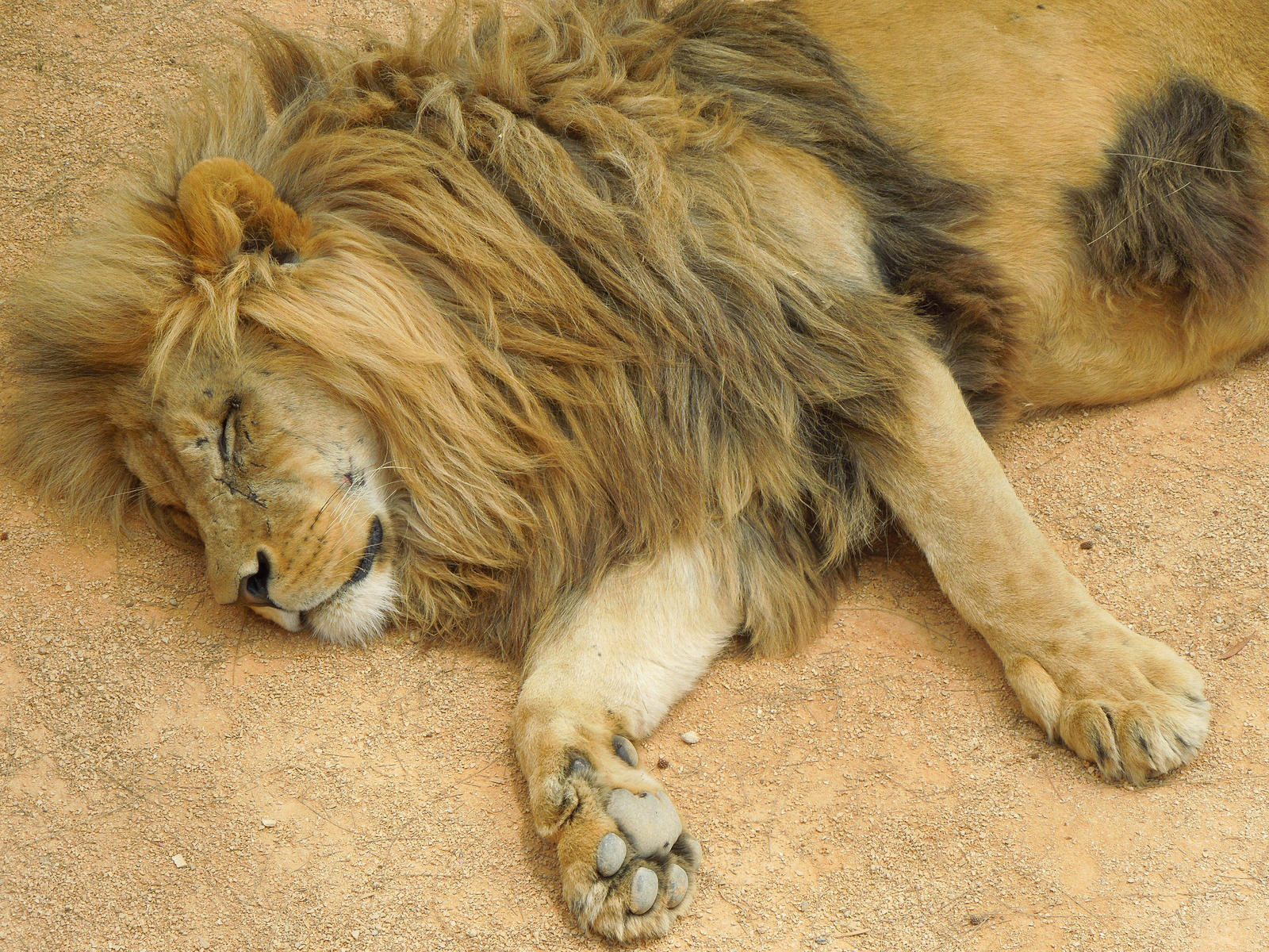 Sleeping lion by Bushrch on DeviantArt