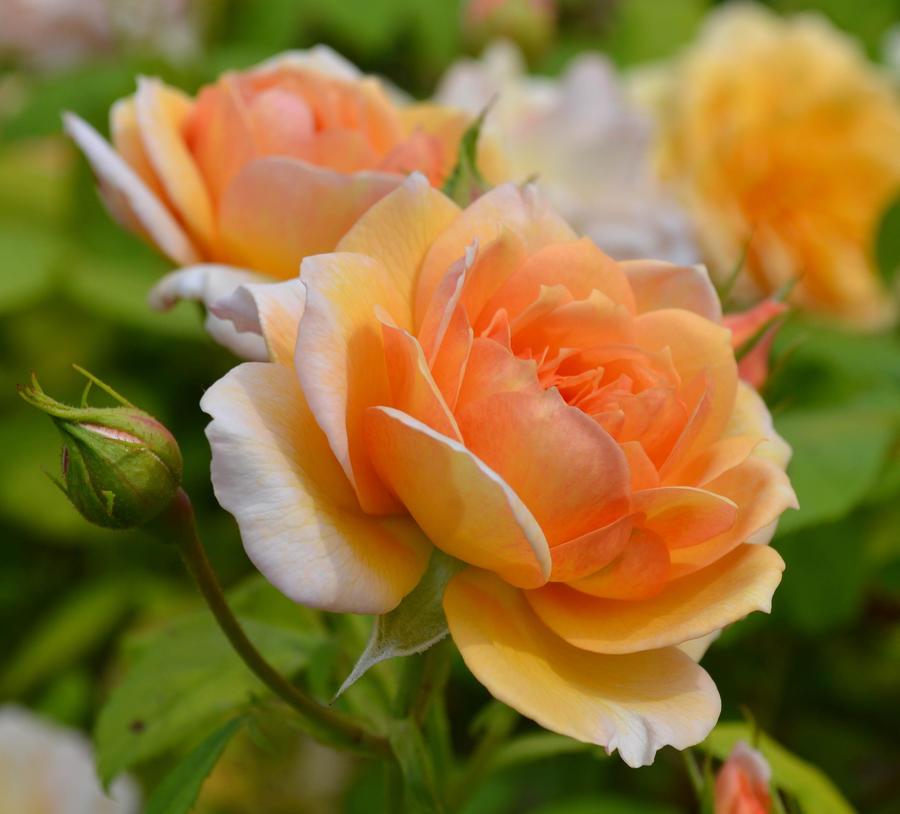 orange rose by bushrch on deviantart. Black Bedroom Furniture Sets. Home Design Ideas