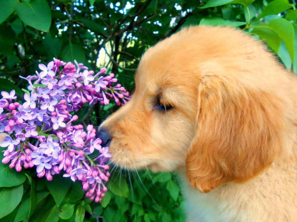 Golden Retriever Puppy Smelling Lilac Flowers By Am301023