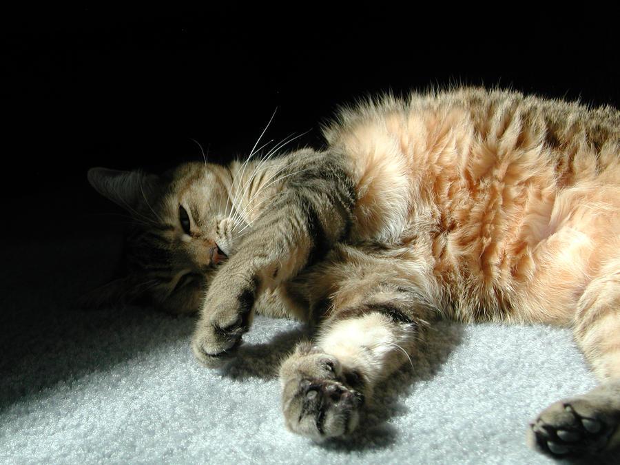 Pixie bob Cat 3 by TigerOtter on DeviantArt