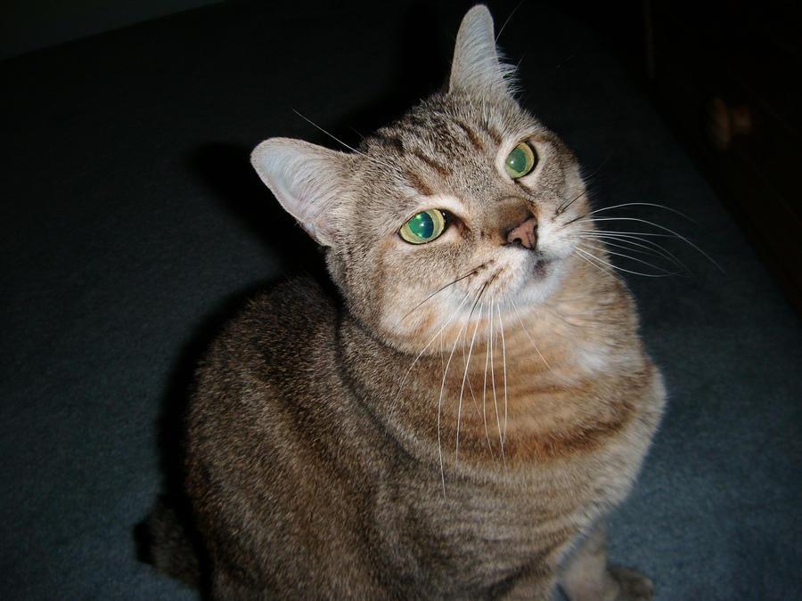 Pixie bob Cat 5 by TigerOtter on DeviantArt