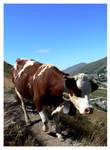 Val Thorens, Cow