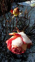 Rose under the snow by LeaTrekina