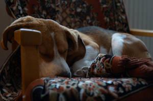 Bejatka the beagle taking a nap