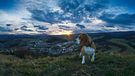 evening walk with Beata  the beagle