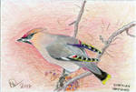 Bohemian Waxwing by kashmere1646