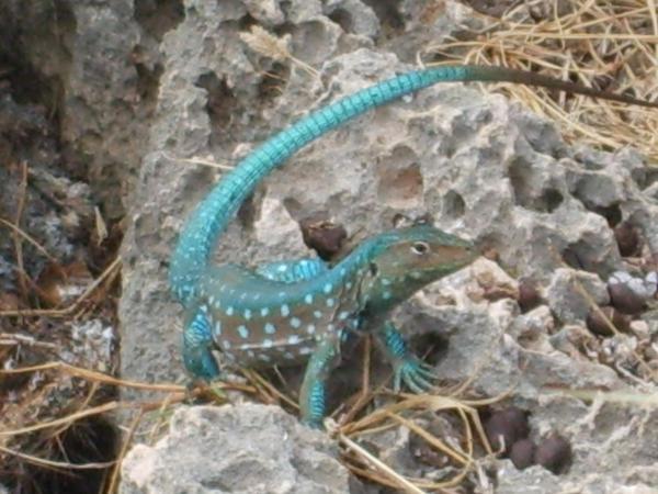 Blue Lizard by penguinrock
