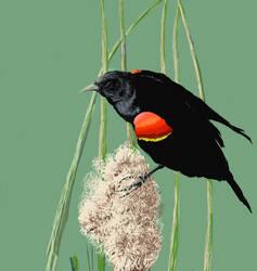 Redwing Black Bird by Caddisman
