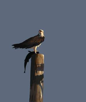 Osprey by Caddisman