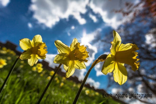 Daffodils on the March