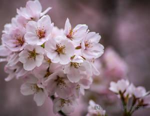 Last sakura of the season