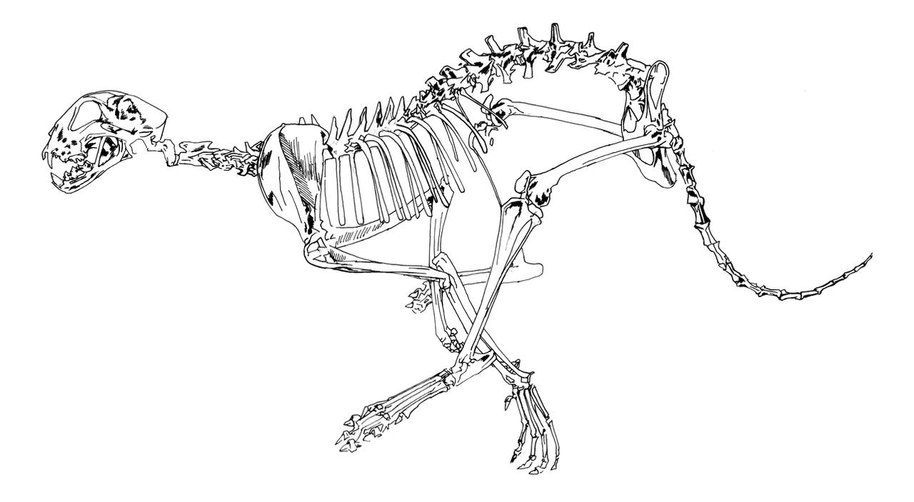 Cheetah skeleton study sketch by dennisdonohue on DeviantArt