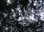 Tree tops 3