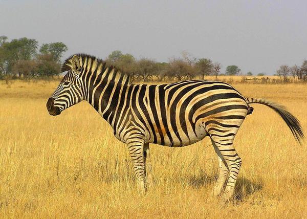 Zebra Poo by Jenvanw