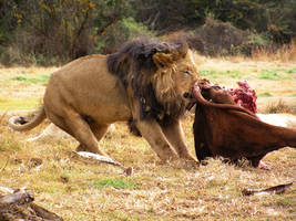 Male Lion Eating by Jenvanw