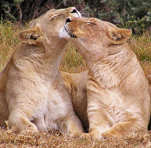 lions human hugs සඳහා පින්තුර ප්රතිඵල