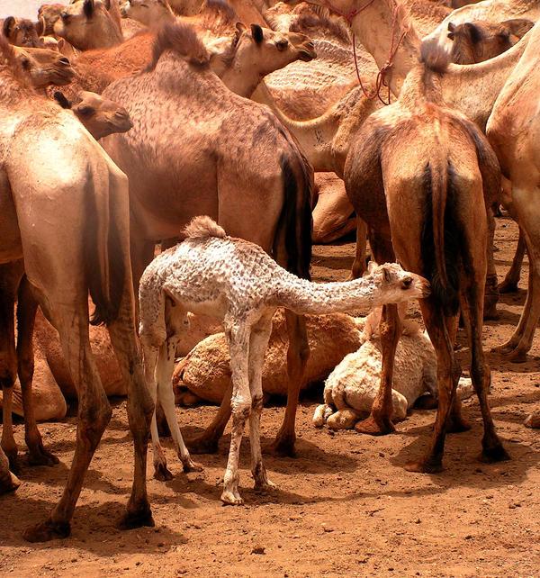 Baby Dromedary Sudan by Jenvanw