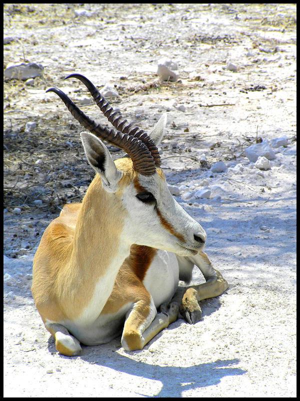 Springbok Etosha, Namibia by Jenvanw