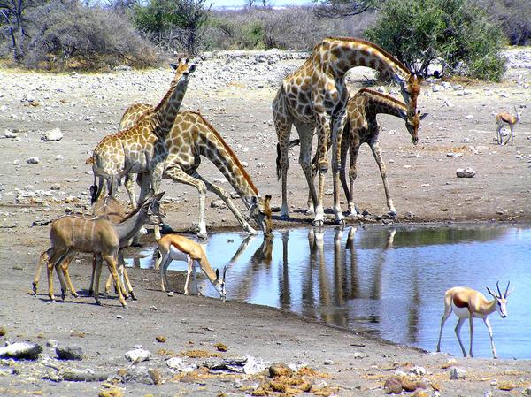 Kudus Giraffes Springboks by Jenvanw