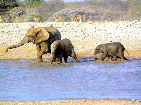 Elephant and Youngsters III by Jenvanw
