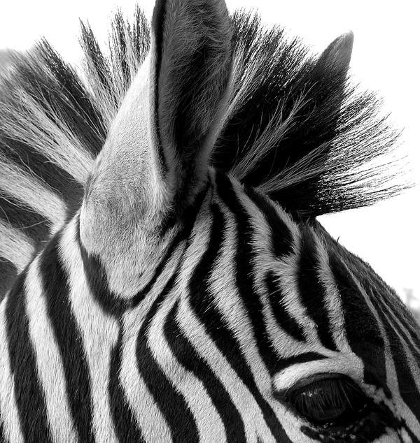 Zebra Black and White by Jenvanw on DeviantArt
