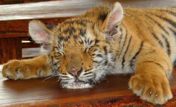 Tiger Rest by Jenvanw