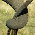 Elephants Tail
